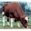 Semen Holstein Rojo: JORDAN